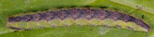 Cucullia gnaphalii L5 2