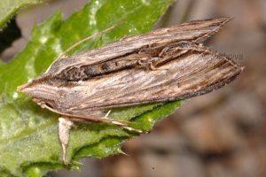 Cucullia lanceolata