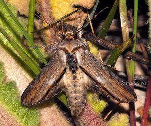 Cucullia lychnitis