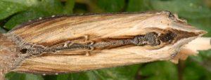 Cucullia scrophulariae 2