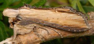 Cucullia scrophulariae 3
