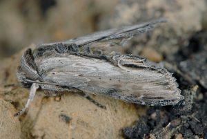 Cucullia scrophulariphaga 1