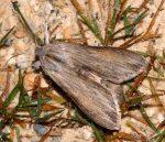 Cucullia umbratica (I)