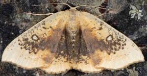 Cyclophora albiocellaria 2B 1