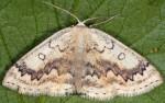 Cyclophora annularia 06 2