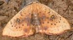 Cyclophora lennigiaria 11 2