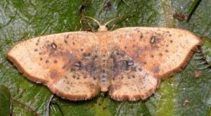 Cyclophora lennigiaria 11 3