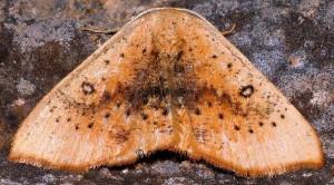 Cyclophora lennigiaria 66 2