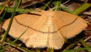 Cyclophora linearia 09 1