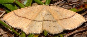 Cyclophora linearia 09 2