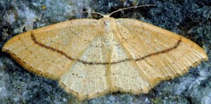 Cyclophora linearia 2B 1
