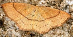 Cyclophora linearia 66 1