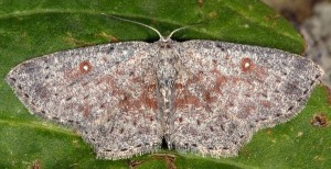 Cyclophora pendularia 06 1