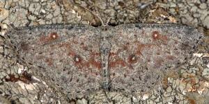 Cyclophora pendularia 06 2