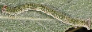 Cyclophora pendularia L5 1
