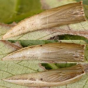 Cyclophora pendularia p 1