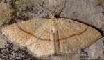 Cyclophora quercimontaria 06 2