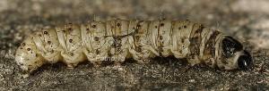 Cynaeda dentalis