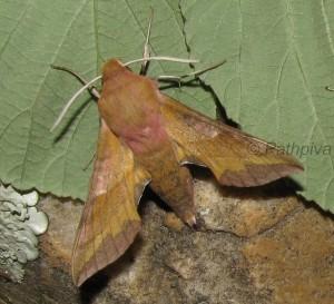 Deilephila porcellus 2