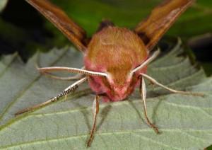 Deilephila porcellus 4