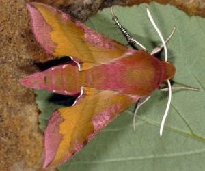 Deilephila porcellus 5