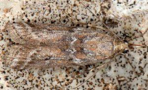 Delplanqueia-cortella-2a-5