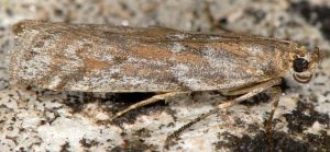 Delplanqueia-cortella-2a-6