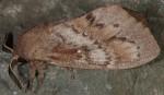 Dendrolimus pini (I, L5)