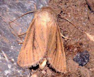 Denticucullus pygmina 1