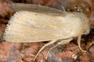 Denticucullus pygmina 13 2