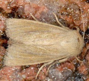 Denticucullus pygmina 13 3