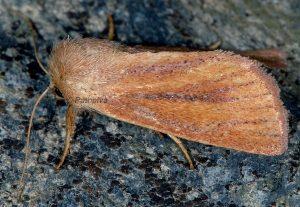 Denticucullus pygmina 2