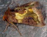 Diachrysia stenochrysis (I)