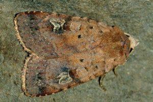 Diarsia guadarramensis