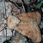 Dichagyris constanti (I, L5)
