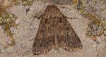 Dichagyris nigrescens (I)