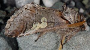 Diloba caeruleocephala 2