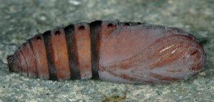 Diloba caeruleocephala p