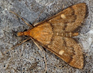 Dolicharthria aetnaealis 06 1