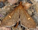 Dolicharthria aetnaealis 06 2