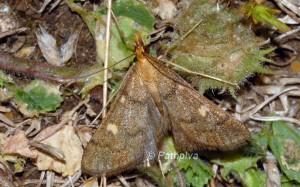 Dolicharthria aetnaealis 06 3