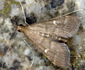 Dolicharthria punctalis 06 1