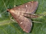 Dolicharthria punctalis 06 2