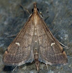 Dolicharthria punctalis 06 3