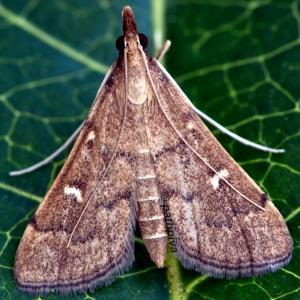 Dolicharthria punctalis 34 1