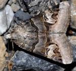 Drasteria cailino (I)
