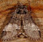 Drymonia dodonaea (I)