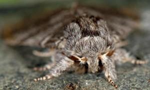 Drymonia ruficornis 1