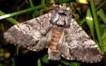 Drymonia ruficornis (I)