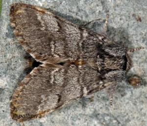 Drymonia ruficornis 2